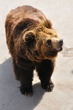 A brown bear Royalty Free Stock Photo