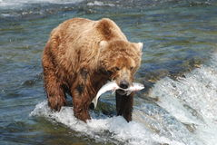 Brown Bear. A brown bear that just caught a salmon Stock Image