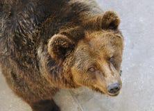 A brown bear Stock Photo