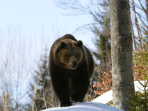 Brown Bear. In the wood Stock Photography