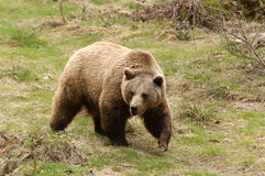Brown Bear. In the wood Stock Photo