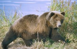 Brown bear. In the reeds at Katmai, Alaska Royalty Free Stock Image
