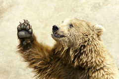 Brown bear. The close-up of brown bear stock image