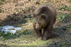 Brown bear. Wild brown bear is hunting in Bavaria Forest, Germany Stock Image