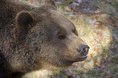 Brown bear. Portrait of a wild brown bear Stock Photos