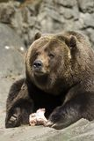 Brown Bear. A brown bear (Ursus arctos) with the remains of a snack stock photography