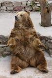 Brown bear. Big brown bear huge animal Royalty Free Stock Photography