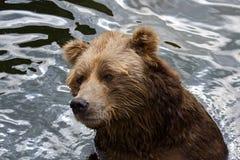 Brown bear. Big dangerous animal Royalty Free Stock Photo