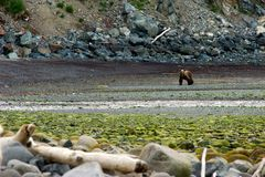 The brown bear. In the intertidal zone Royalty Free Stock Image