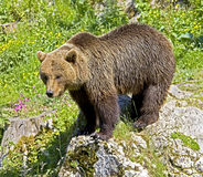 Brown bear 20 Stock Photography