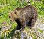 Brown bear 20 Stock Photography