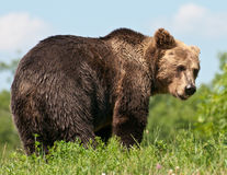 Brown Bear. Photograph of a captive European brown bear Royalty Free Stock Photo