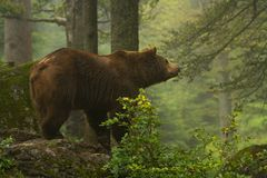 Free Brown Bear Royalty Free Stock Image - 20259086
