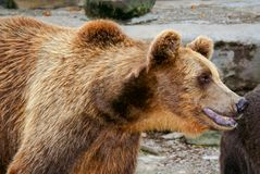 Brown Bear Stock Image