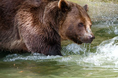 Brown Bear. Hunts for food in the river Royalty Free Stock Photo