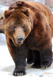 Brown bear. Great brown bear. Russian nature, wilderness world Stock Photo