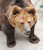 Brown bear. In Beijing zoo, China. Photo focus on the head of the bear Stock Images