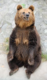 Brown bear. Big standing brown bear in Beijing zoo, China Stock Photos