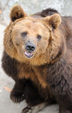 Brown bear. In Beijing zoo, China. Photo focus on the head of the bear Royalty Free Stock Photo