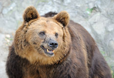 Brown bear. In Beijing zoo, China. Photo focus on the head of the bear Stock Photos