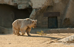 Brown bear. Are on the move Royalty Free Stock Photos