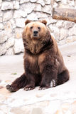 Brown bear. Is sitting and looking Stock Image