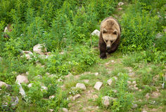 Brown bear. A large beautiful brown bear walking in a green field Stock Images