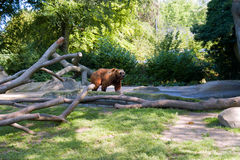 Brown bear. At the tumbled down trees Stock Photography