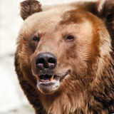 Brown bear. Ursus arctos. Portrait. Close up Royalty Free Stock Image