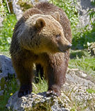 Brown bear 24 Royalty Free Stock Photo