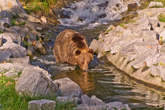 Brown Bear. (ursus arctos) standing in the stream Stock Image