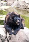 A brown bear. Takes a break Royalty Free Stock Images