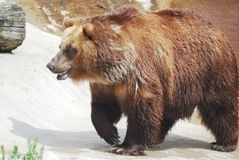 The brown bear Royalty Free Stock Image