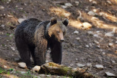 Brown bear. In the woods Royalty Free Stock Photo