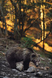Brown bear. In the woods Stock Photos