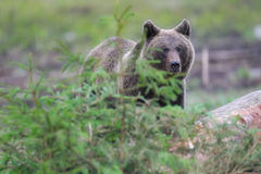 Brown bear. In the woods Stock Images