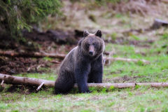 Brown bear. In the woods Royalty Free Stock Image