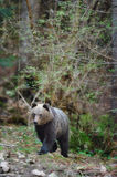 Brown bear. In the woods Royalty Free Stock Images
