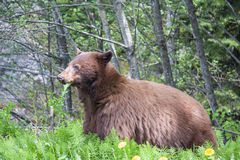 Brown Bear. Large Brown Bear foraging in the forest stock images