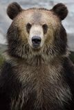 A brown bear Royalty Free Stock Image