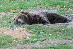 Brown Bear. A brown bear who has dug a hole and is resting in it Stock Images