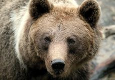 Brown bear Stock Photography