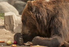 Brown bear. It is huge and furry brown bear Royalty Free Stock Photo