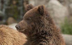 Brown bear. It is huge and furry brown bear Stock Photo