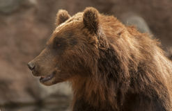 Brown bear. It is huge and furry brown bear Royalty Free Stock Photography