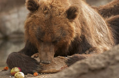 Brown bear. It is huge and furry brown bear Stock Image