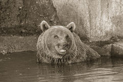 Brown bear. It is brown bear in a water bath Stock Photo