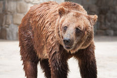 Brown Bear. Wet brown bear in Lisbon zoo Royalty Free Stock Photos