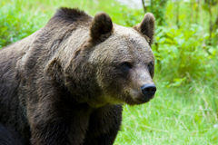 Brown Bear. Sitting on grass in a zoo Royalty Free Stock Images