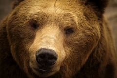 Brown Bear 3. Face of a large brown bear royalty free stock image